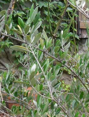 Maladie de l olivier mousse blanche elegant luolivier - Maladie de l olivier mousse blanche ...