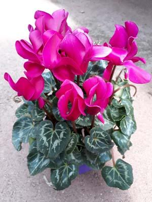 jeune plant de cyprès jaunisse