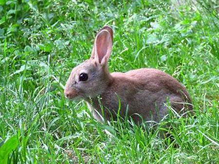 Du lapin des champs au lapin urbain la dure vie du lapin - Cuisiner un lapin de garenne ...