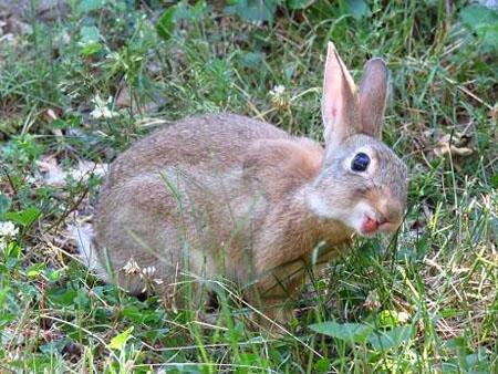 Extrêmement Du lapin des champs au lapin urbain - La dure vie du lapin urbain GT99