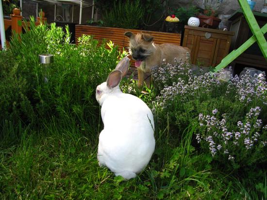 éleveur lapin géant des flandre